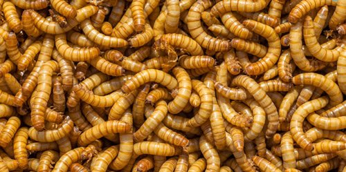 Photo of mealworms