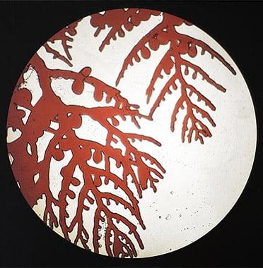 sara gevurtz red algae wt 2
